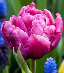 TULIPA DOUBLE EARLY 'MARGARITA' 12/+ CM. (10 PKGS.X 10)