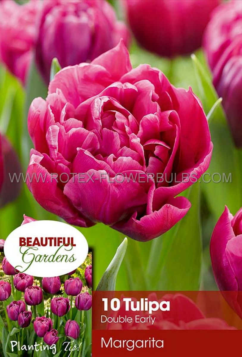 tulipa double early margarita 12 cm 10 pkgsx 10