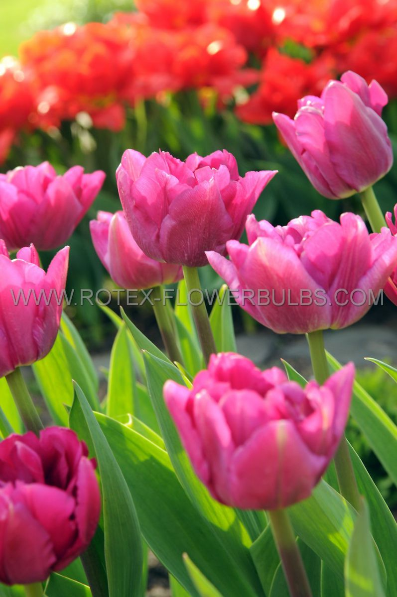 tulipa double early margarita 12 cm 100 pbinbox