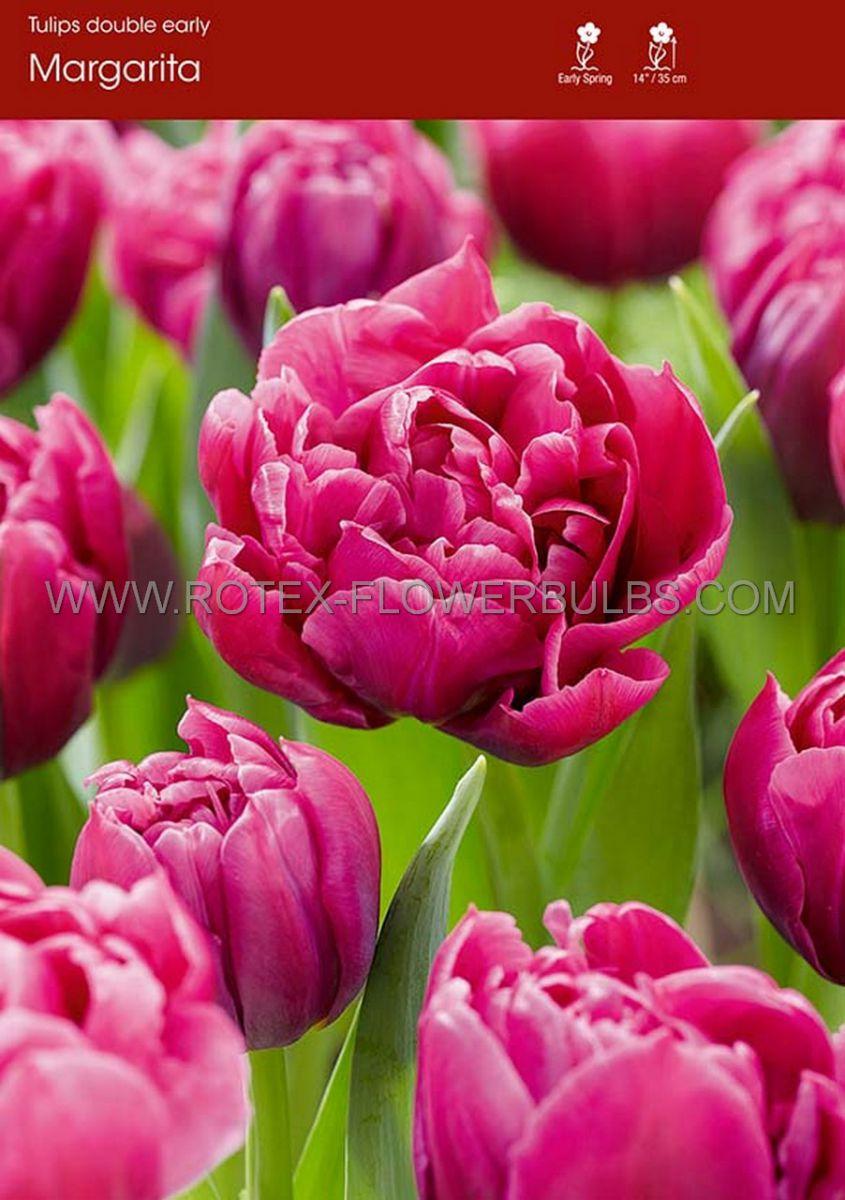 tulipa double early margarita 12 cm 100 pbinbox