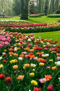 TULIPA DOUBLE EARLY 'MIX' 12/+ CM. (10 PKGS.X 10)