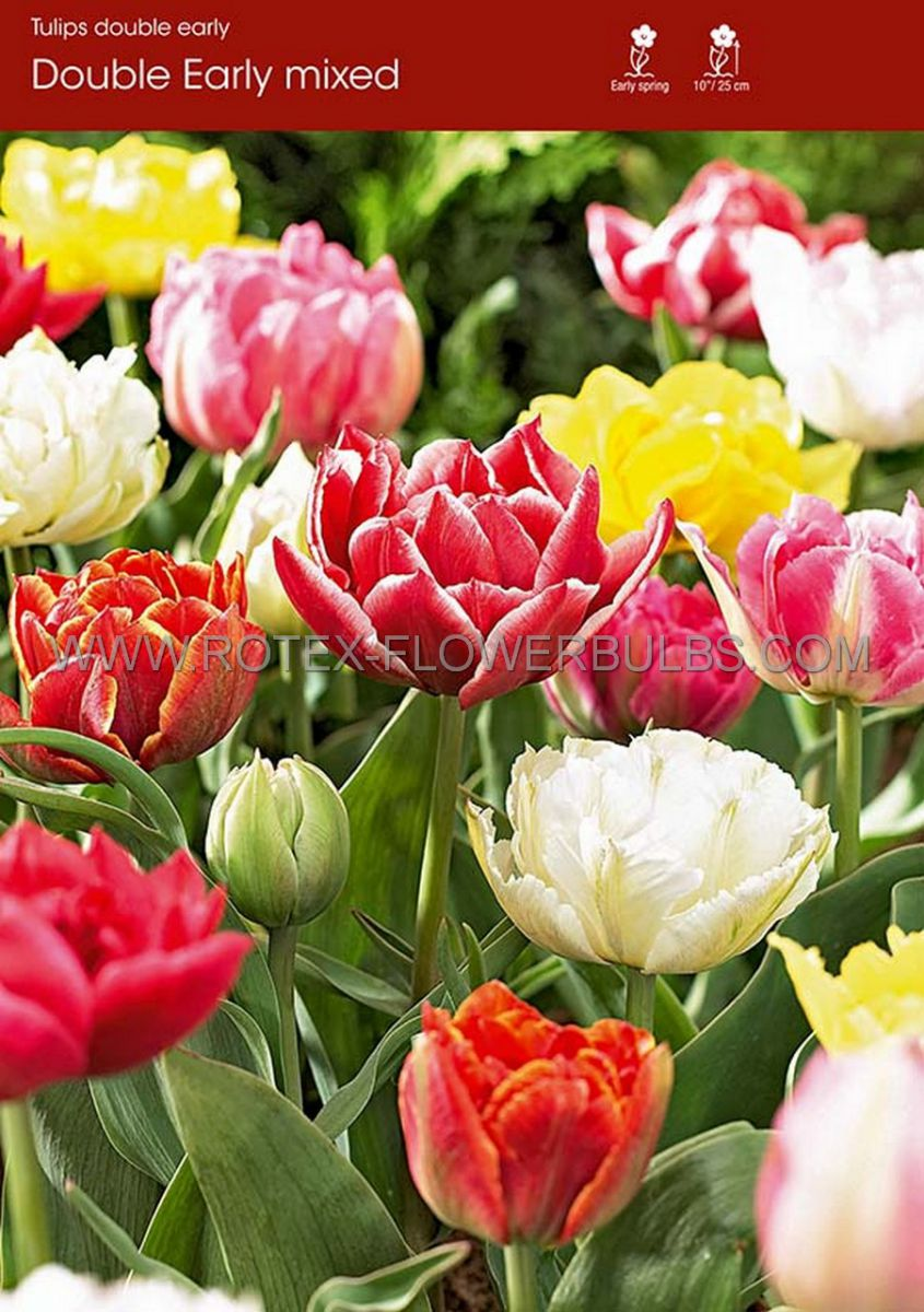 tulipa double early mix 12 cm 100 pbinbox