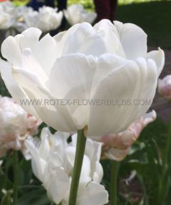 TULIPA DOUBLE EARLY 'MONDIAL' 12/+ CM. (10 PKGS.X 10)