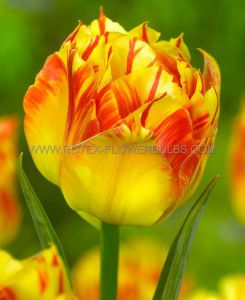 TULIPA DOUBLE EARLY 'MONSELLA' 12/+ CM. (100 P.BINBOX)