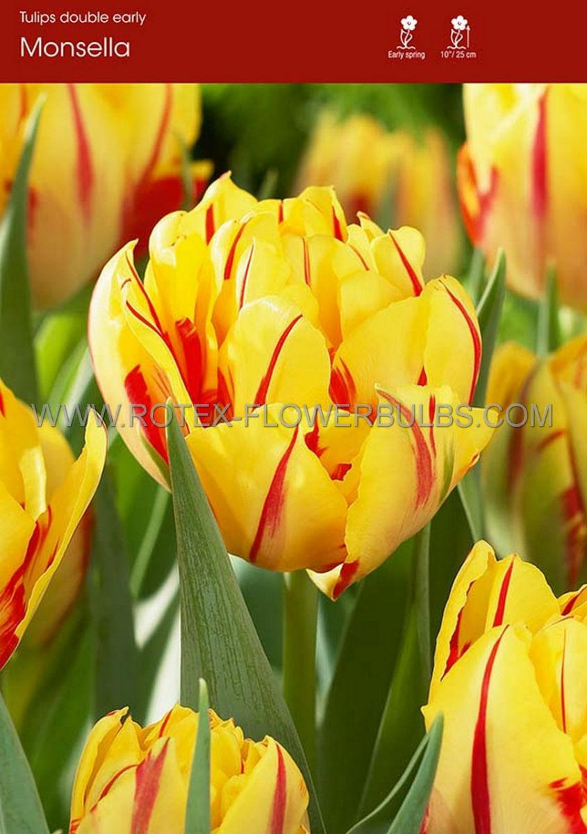 tulipa double early monsella 12 cm 100 pbinbox