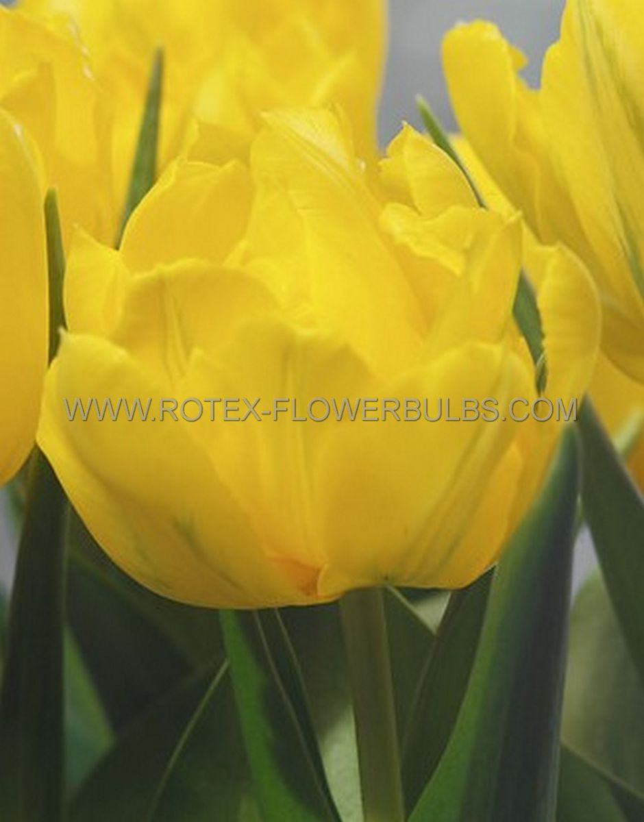 tulipa double early monte carlo 12 cm 10 pkgsx 10