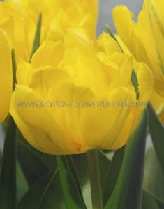 TULIPA DOUBLE EARLY 'MONTE CARLO' 12/+ CM. (10 PKGS.X 10)