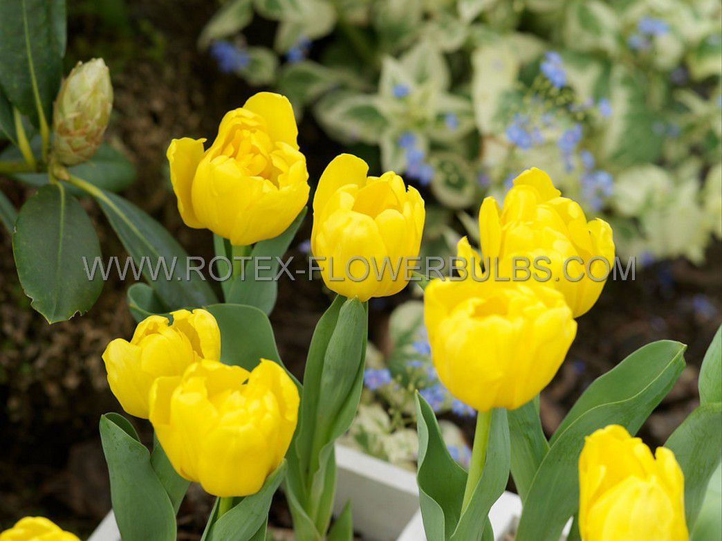 tulipa double early monte carlo 12 cm 100 pbinbox