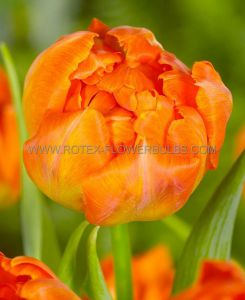 TULIPA DOUBLE EARLY 'MONTE ORANGE' 12/+ CM. (10 PKGS.X 10)