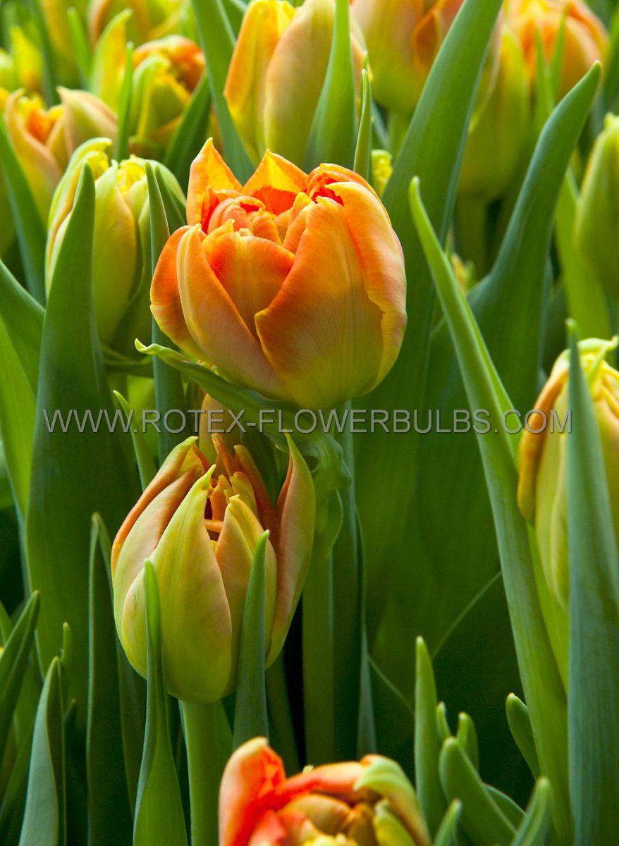 tulipa double early monte orange 12 cm 10 pkgsx 10