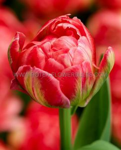 TULIPA DOUBLE EARLY 'PROMISS' 12/+ CM. (100 P.BINBOX)