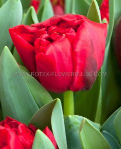 TULIPA DOUBLE EARLY 'SPITFIRE' 12/+ CM. (10 PKGS.X 10)