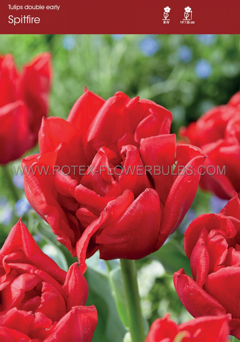 tulipa double early spitfire 12 cm 10 pkgsx 10