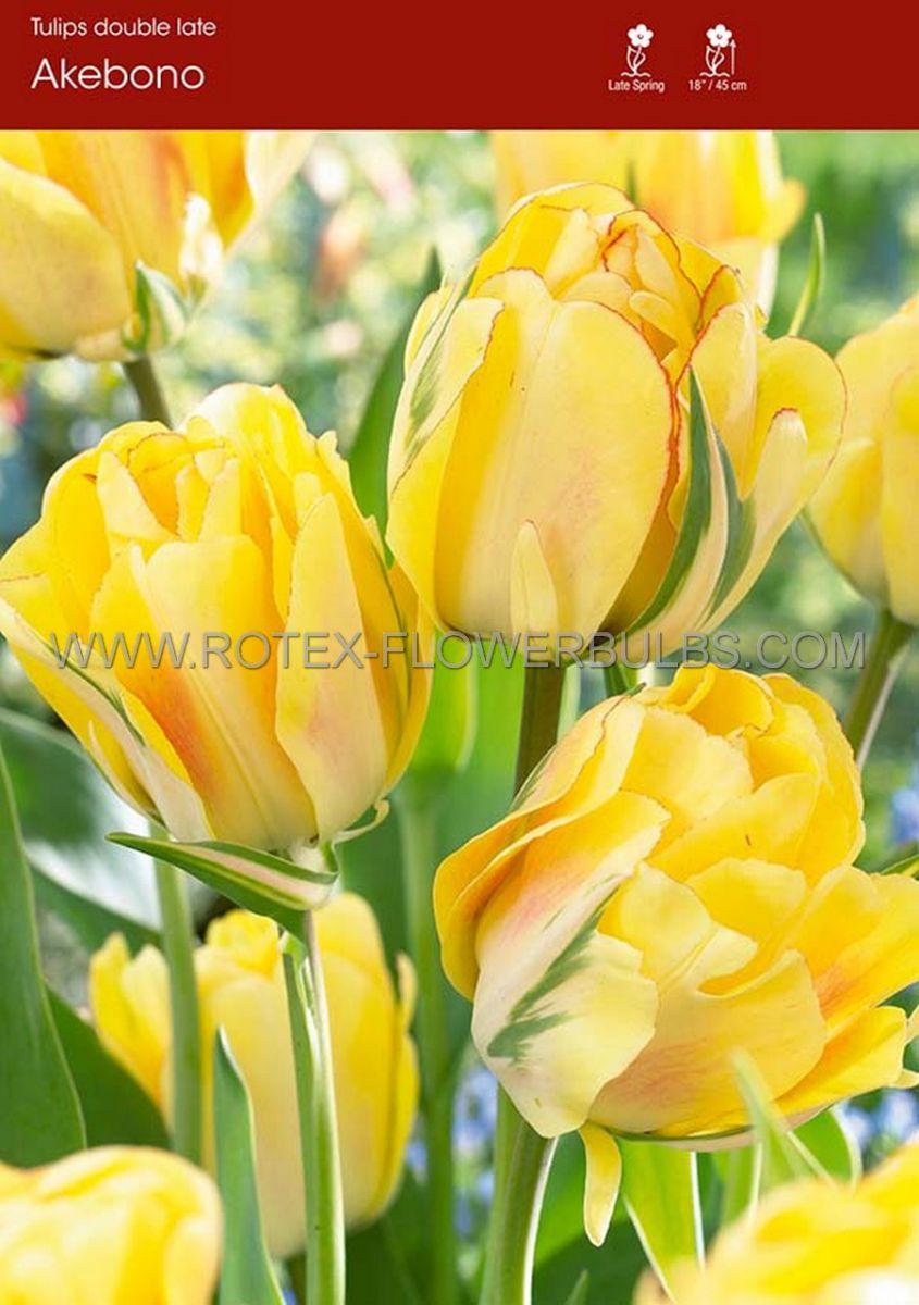 tulipa double late akebono 12 cm 100 pbinbox