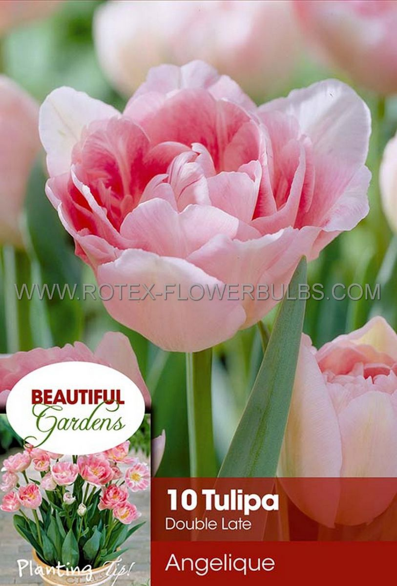 tulipa double late angelique 12 cm 10 pkgsx 10