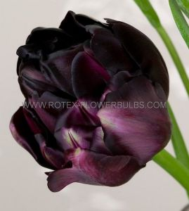 TULIPA DOUBLE LATE 'BLACK HERO' 12/+ CM. (100 P.BINBOX)