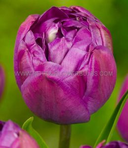 TULIPA DOUBLE LATE 'BLUE SPECTACLE' 12/+ CM. (10 PKGS.X 10)
