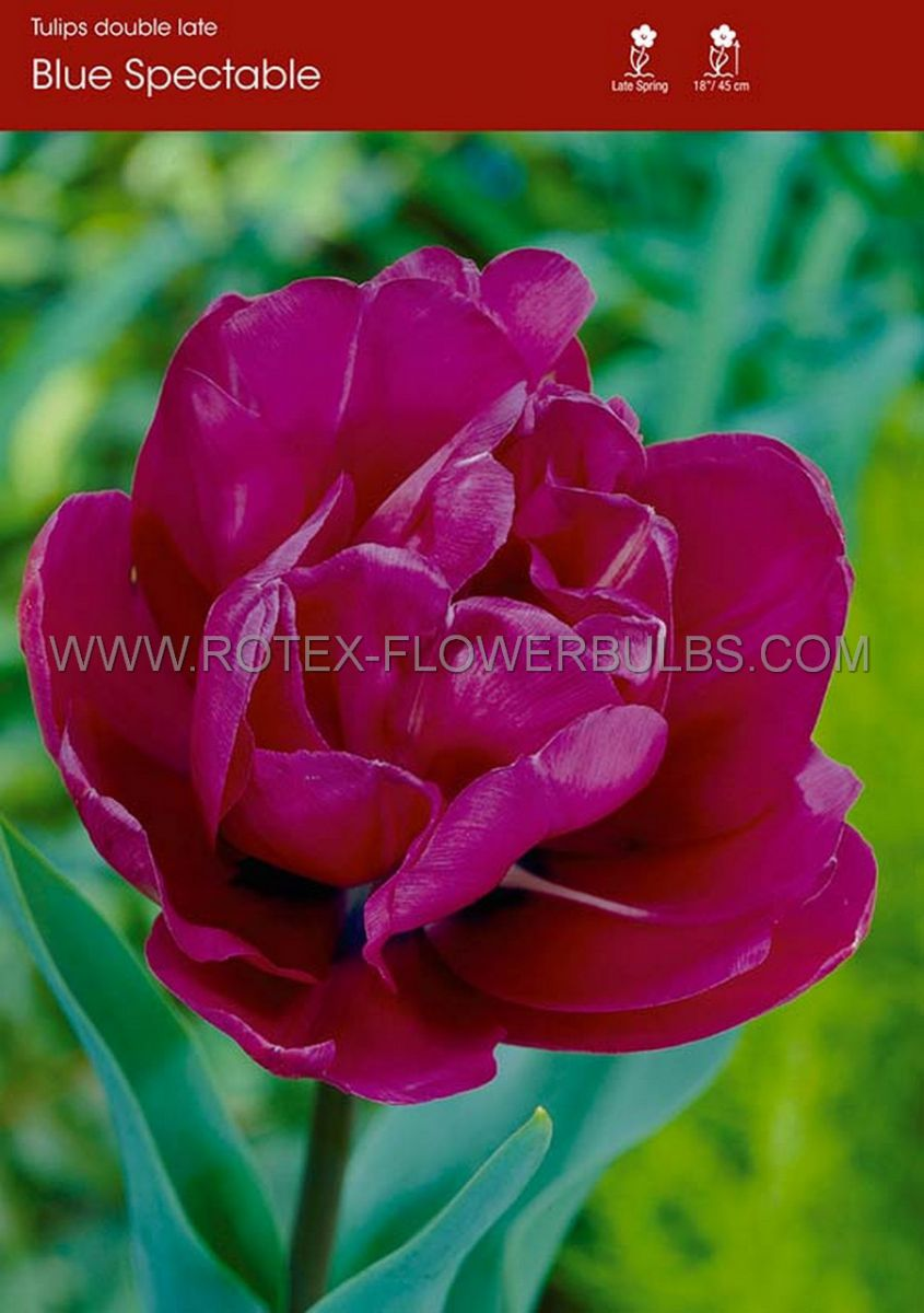 tulipa double late blue spectacle 12 cm 100 pbinbox
