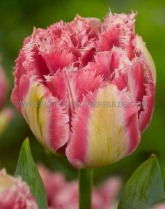 TULIPA DOUBLE LATE 'COOL CRYSTAL' 12/+ CM. (100 P.BINBOX)