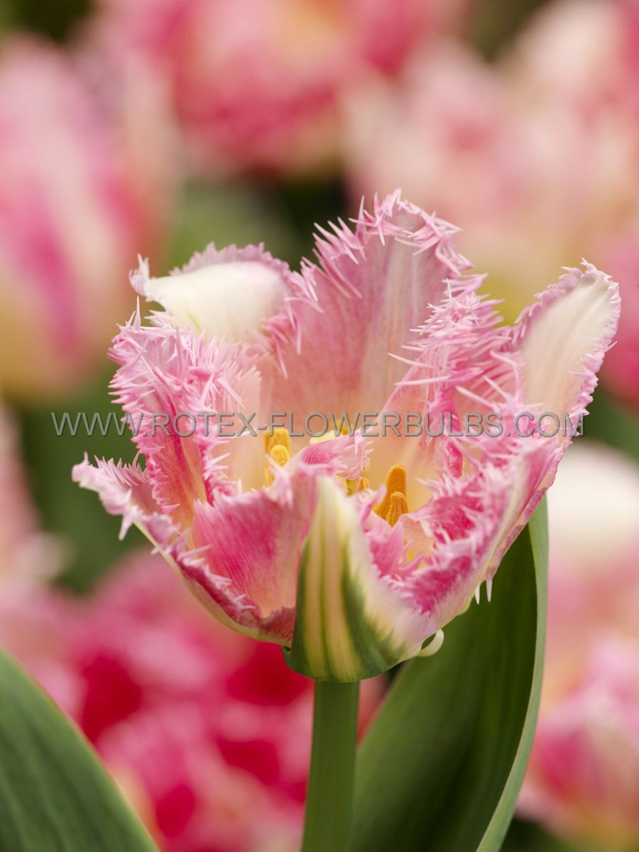 tulipa double late cool crystal 12 cm 100 pbinbox