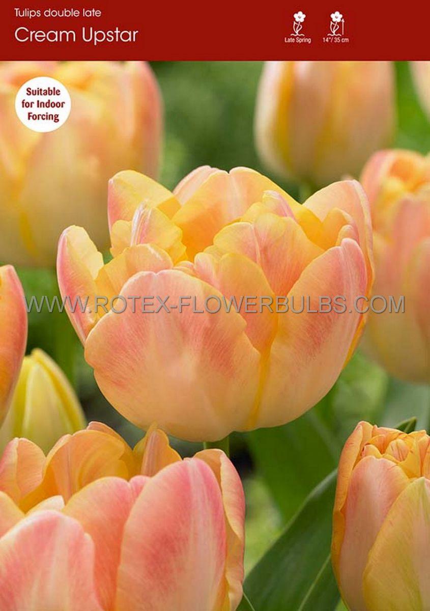 tulipa double late creme upstar 12 cm 100 pbinbox