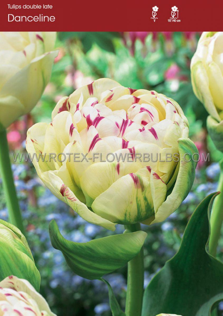 tulipa double late danceline 12 cm 100 pbinbox
