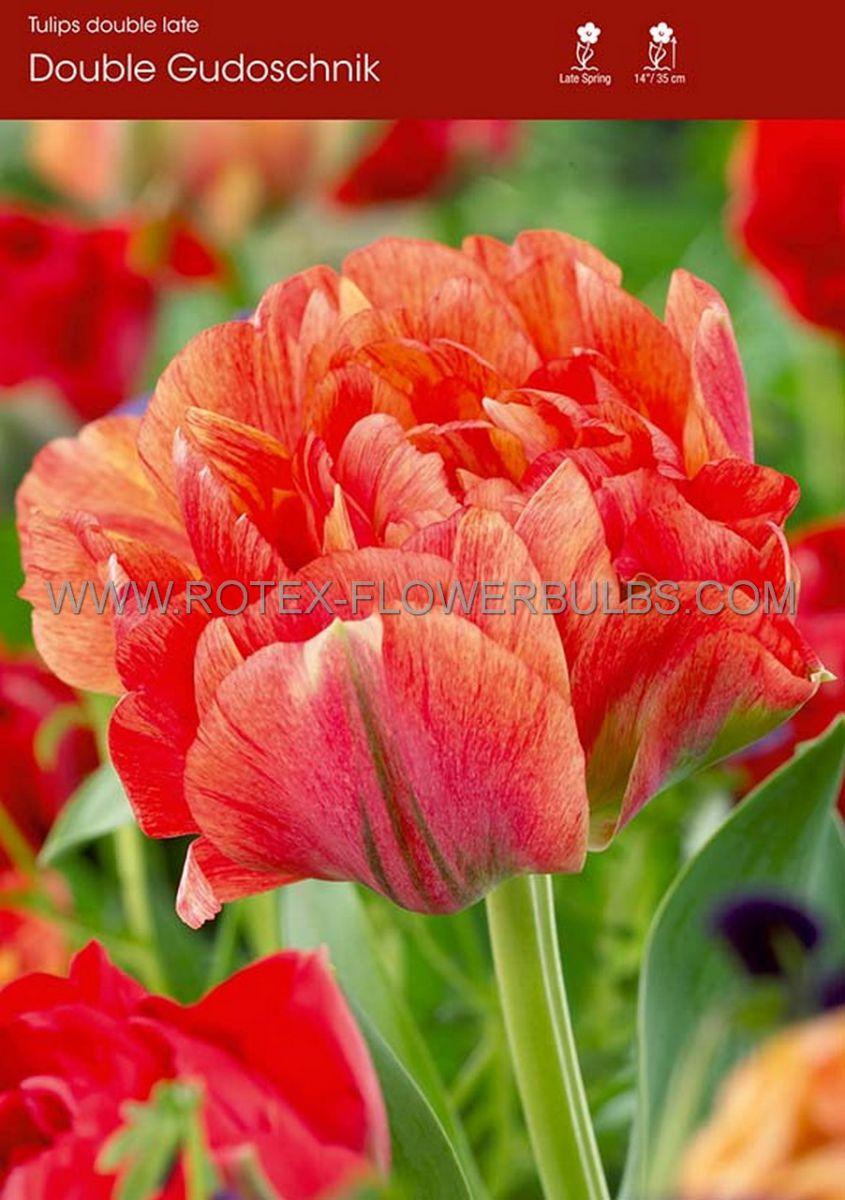 tulipa double late double gudoshnik 12 cm 100 pbinbox