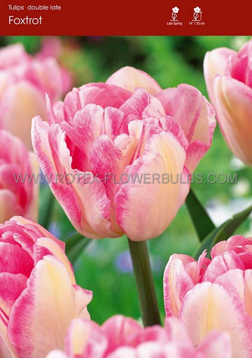 tulipa double late foxtrot 12 cm 100 pbinbox