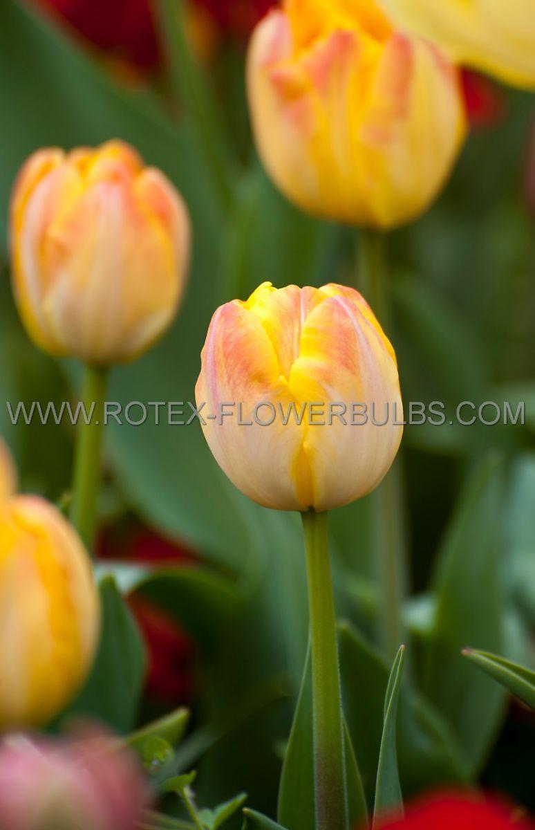 tulipa double late foxy foxtrot 12 cm 100 pbinbox