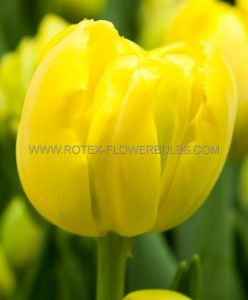 TULIPA DOUBLE LATE 'GOLD FEVER' 12/+ CM. (10 PKGS.X 10)
