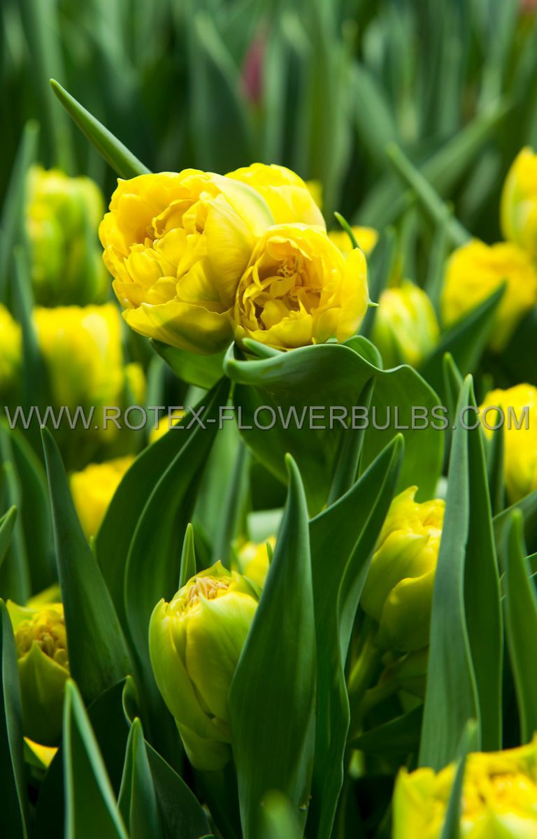 tulipa double late gold fever 12 cm 10 pkgsx 10