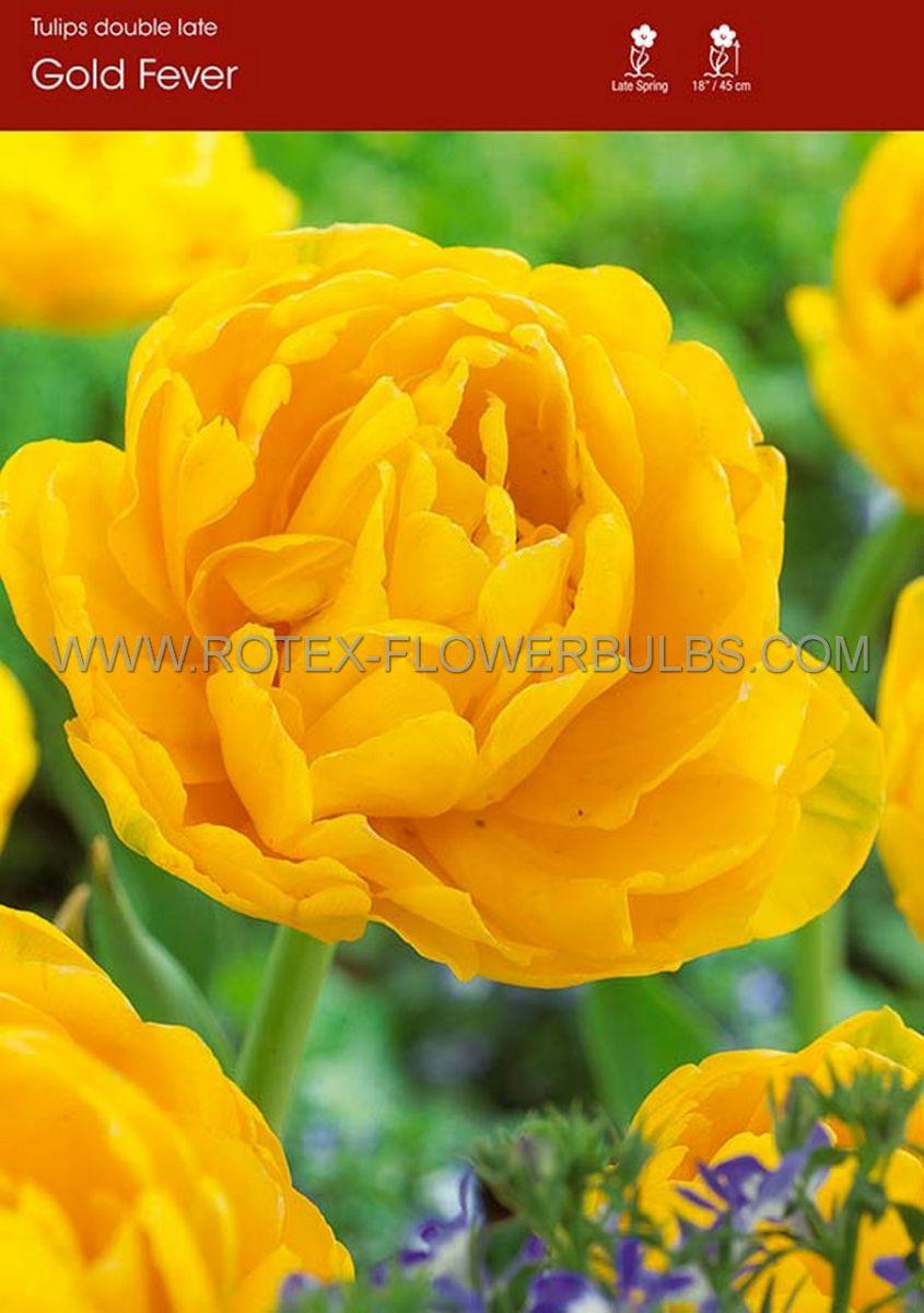 tulipa double late gold fever 12 cm 100 pbinbox