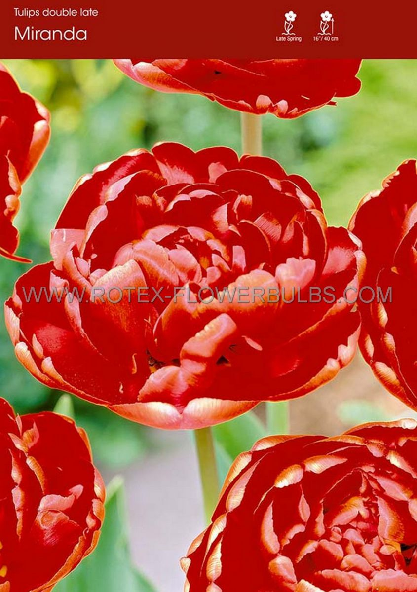 tulipa double late miranda 12 cm 100 pbinbox