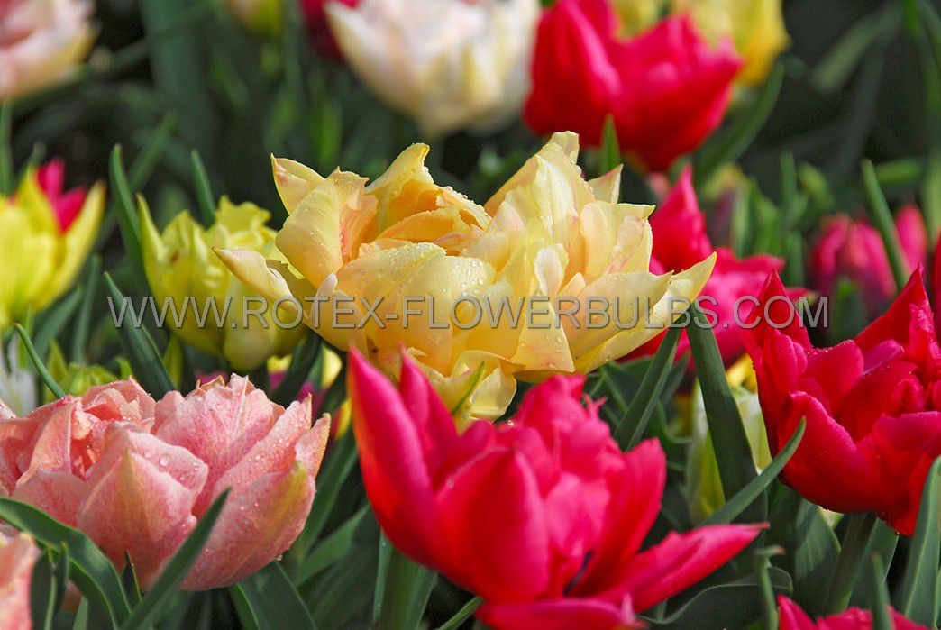 tulipa double late mix 12 cm 100 pbinbox