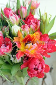 TULIPA DOUBLE LATE 'MIX' 12/+ CM. (500 P.PLASTIC TRAY)