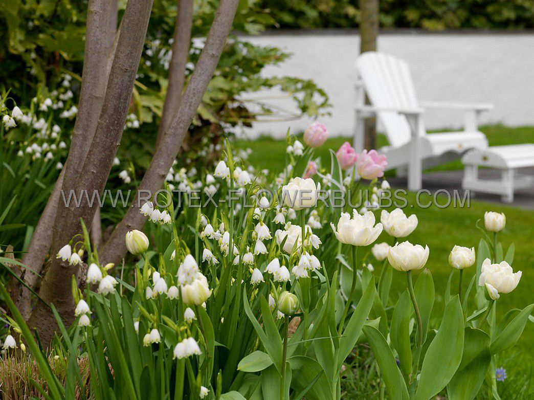 tulipa double late mount tacoma 12 cm 100 pbinbox