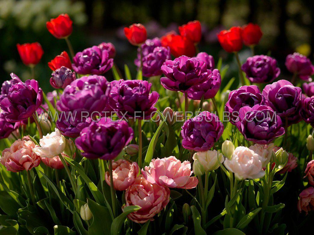 tulipa double late negrita double 12 cm 100 pbinbox