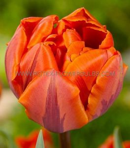 TULIPA DOUBLE LATE 'ORANGE PRINCESS' 12/+ CM. (100 P.BINBOX)