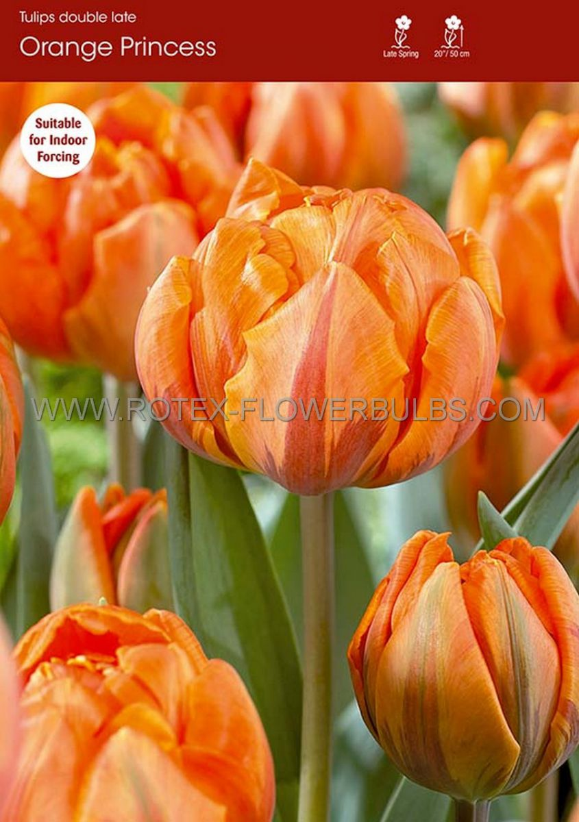 tulipa double late orange princess 12 cm 100 pbinbox