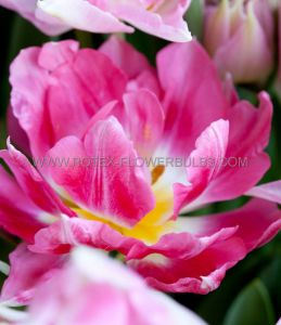 TULIPA DOUBLE LATE 'PINK STAR' 12/+ CM. (10 PKGS.X 10)