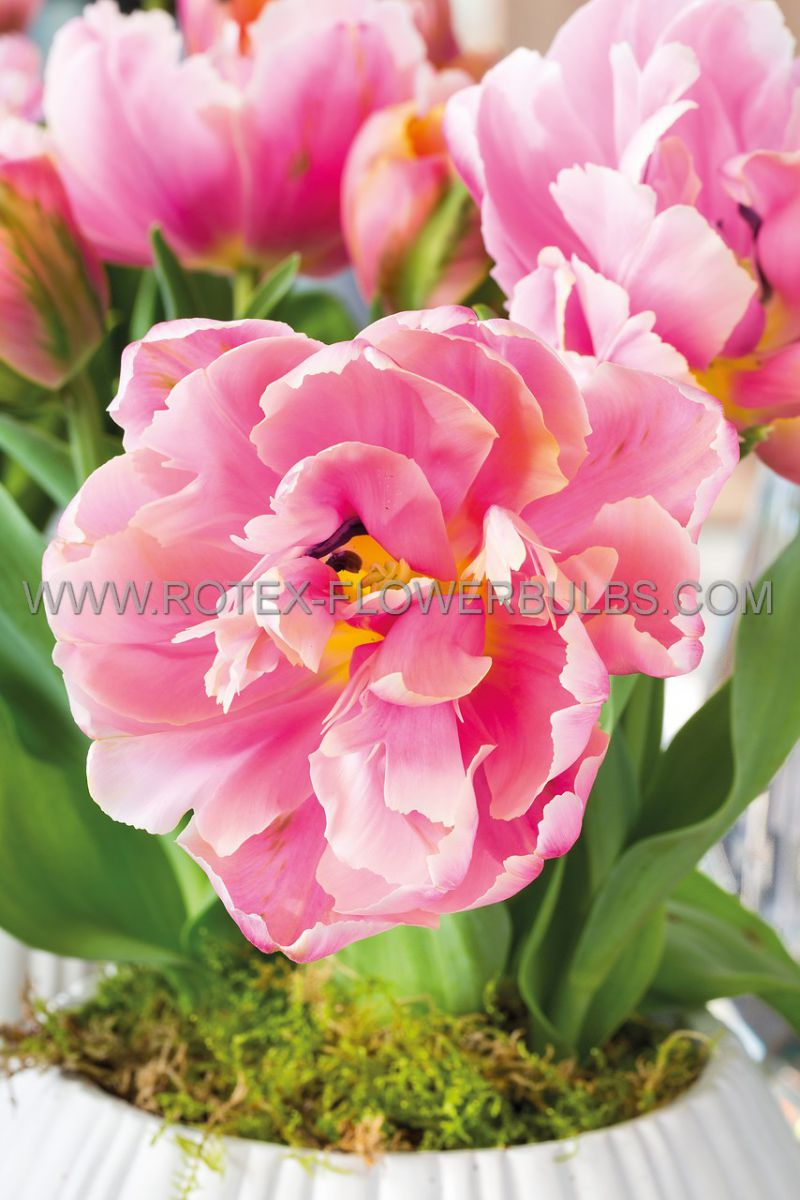 tulipa double late pink star 12 cm 100 pbinbox