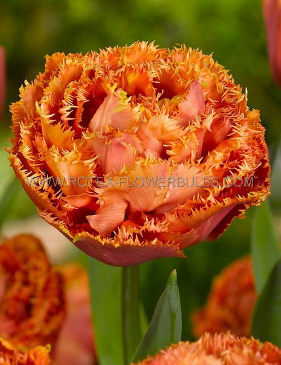 tulipa double late sensual touch 12 cm 100 pbinbox