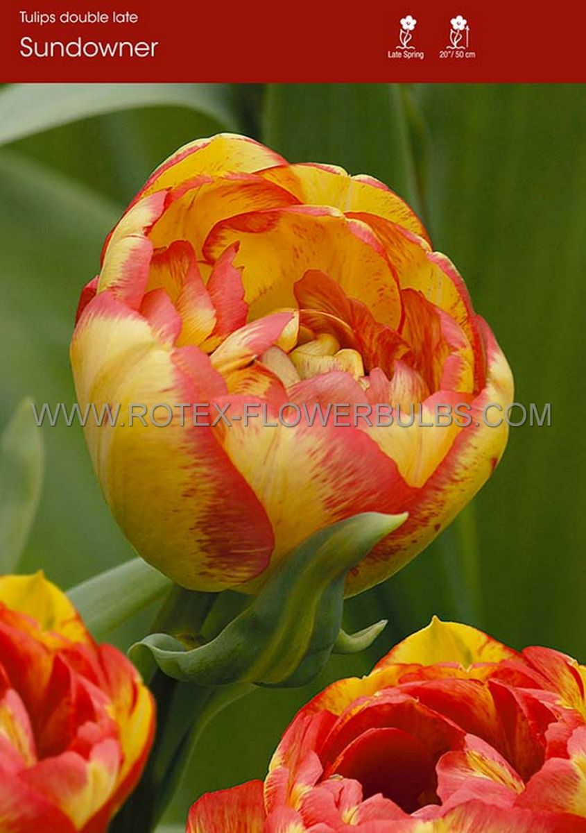 tulipa double late sundowner 12 cm 100 pbinbox