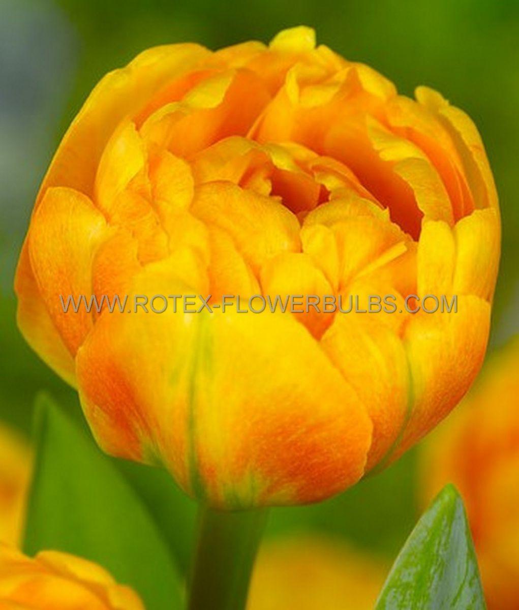 tulipa double late sunlover 12 cm 100 pbinbox