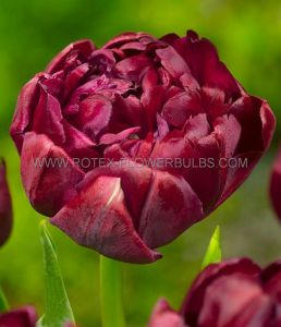 TULIPA DOUBLE LATE 'UNCLE TOM' 12/+ CM. (10 PKGS.X 10)