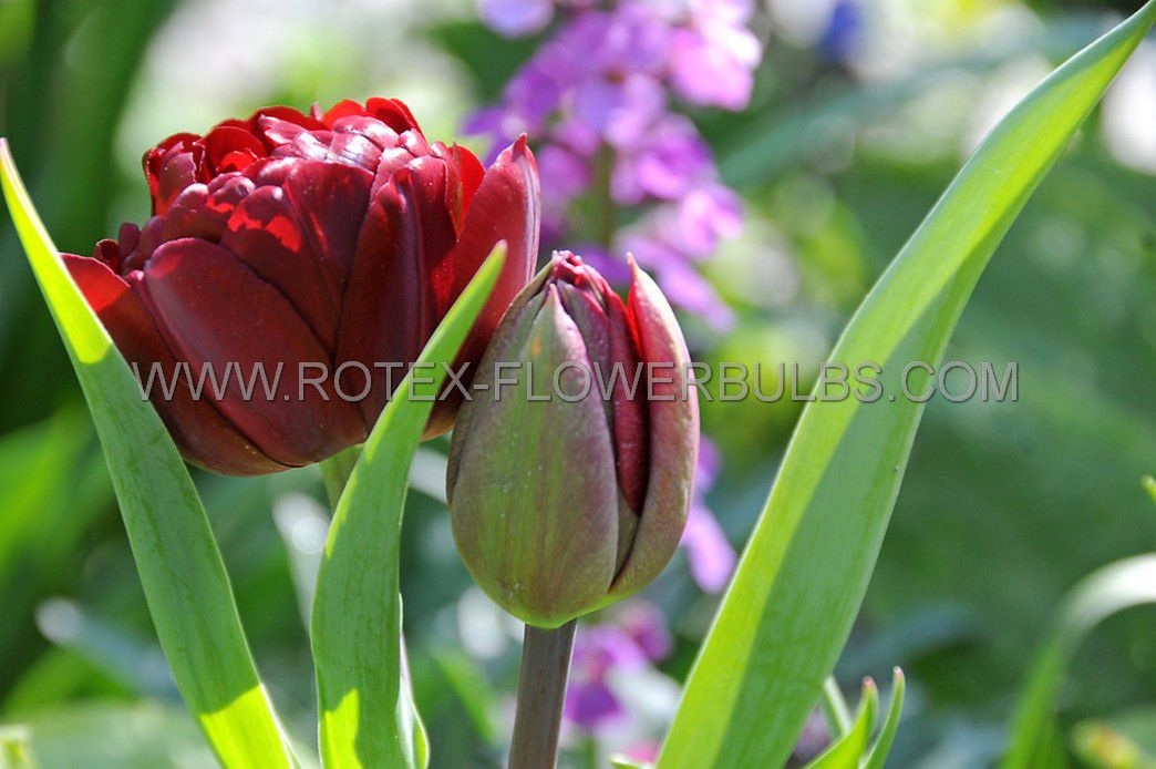 tulipa double late uncle tom 12 cm 10 pkgsx 10