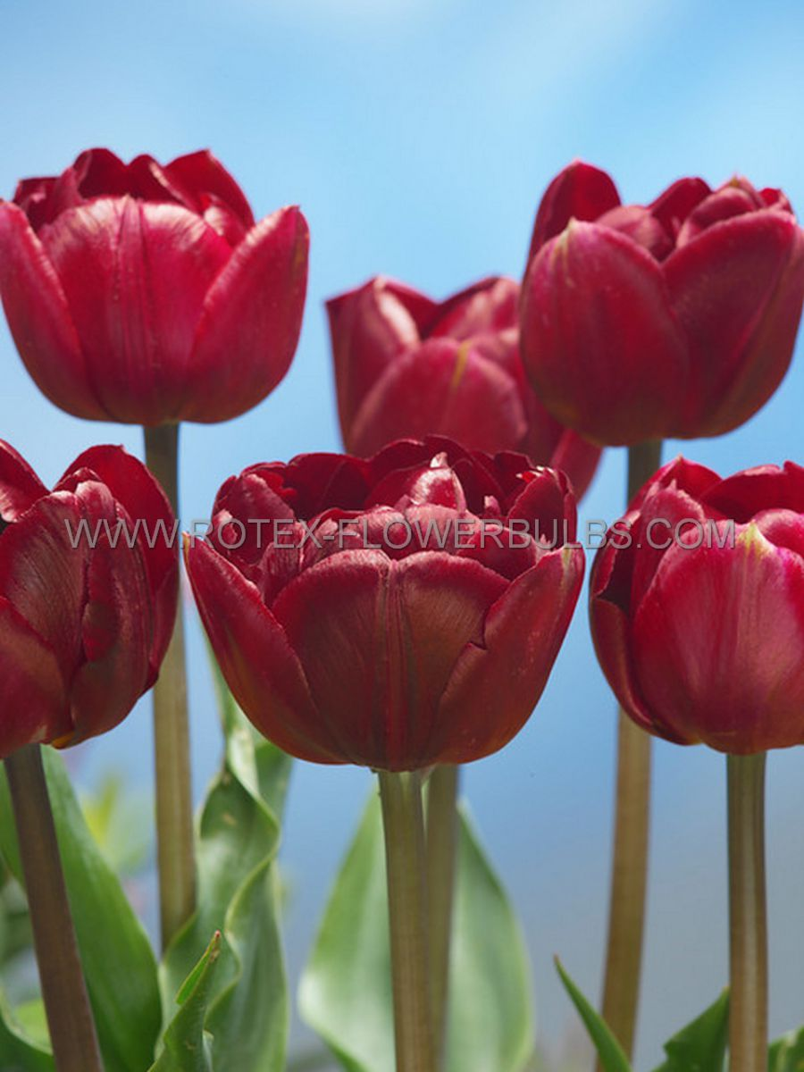 tulipa double late uncle tom 12 cm 100 pbinbox