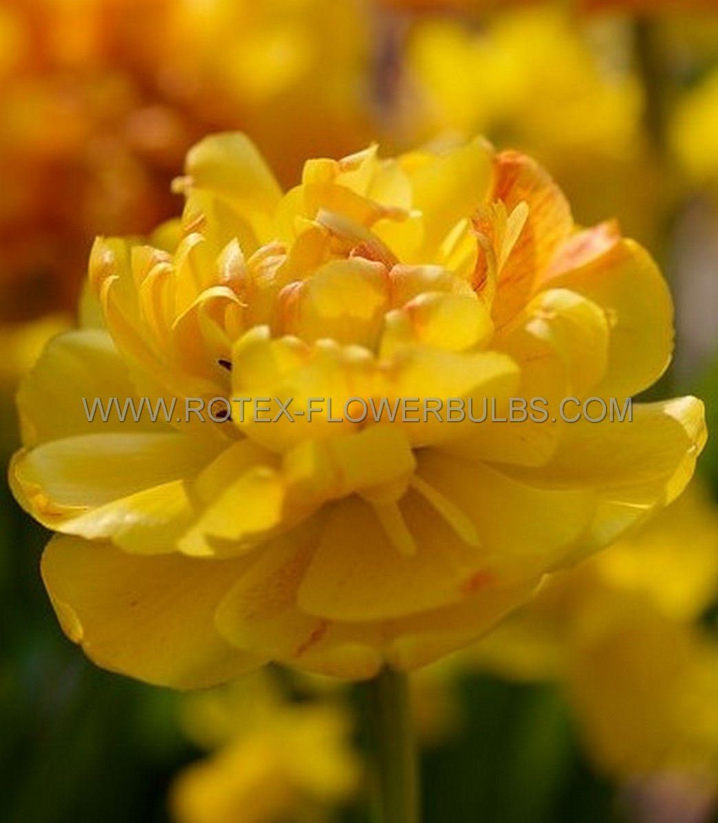 tulipa double late yellow pompenette 12 cm 100 pbinbox