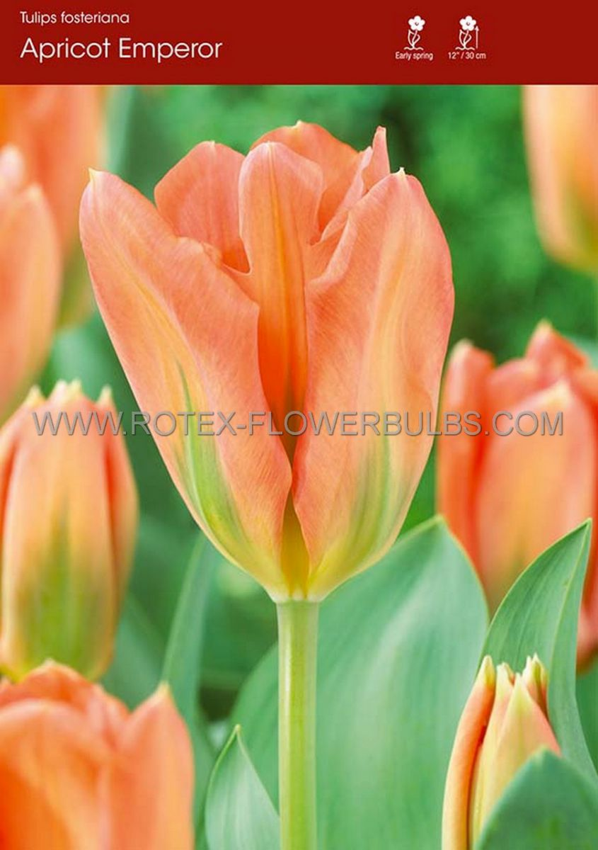 tulipa fosteriana apricot emperor 12 cm 100 pbinbox