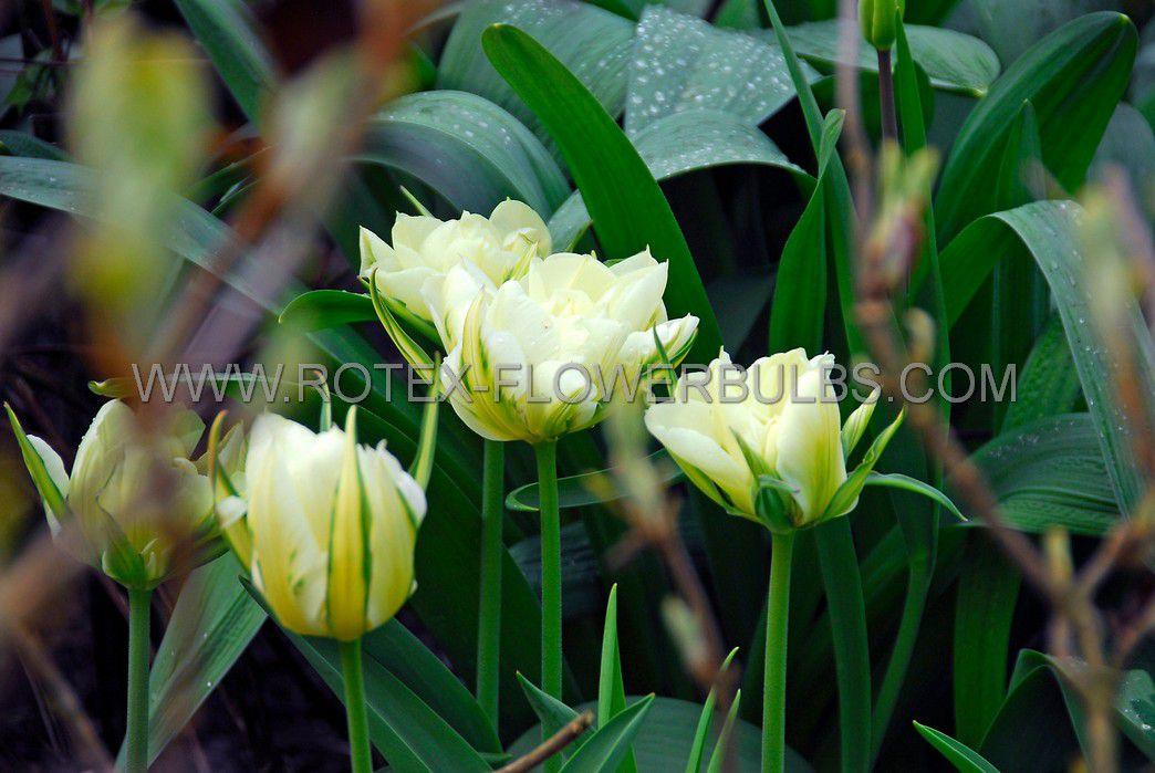 tulipa fosteriana exotic emperor 12 cm 100 pbinbox